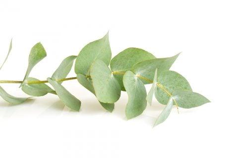 ユーカリ・グロブルス 観葉植物3