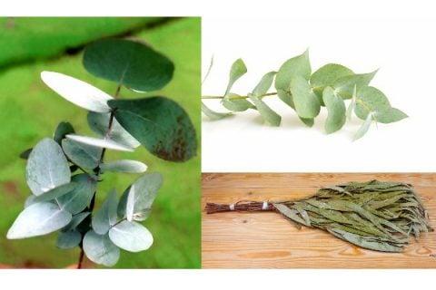 観葉植物 ユーカリ グロブルス