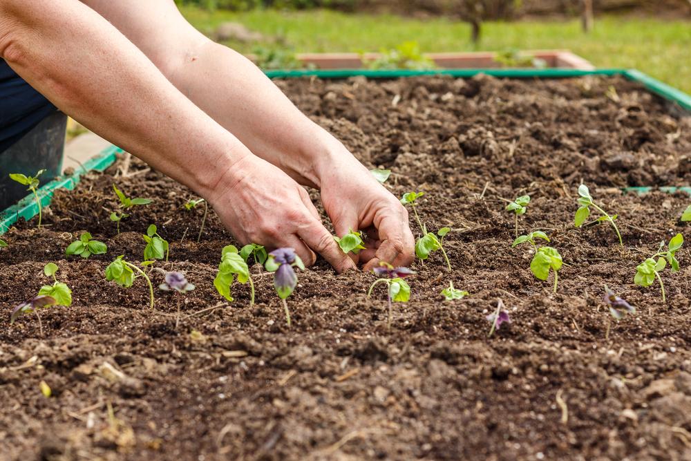 バジル ハーブ 栽培 苗植え