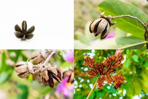 サルスベリ 種1