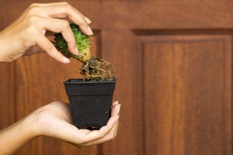 多肉植物 鉢 植え替え