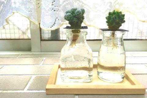 サボテン 水耕栽培