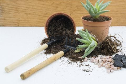 多肉植物 根 乾燥 植え替え