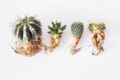 サボテン 植え替え 根