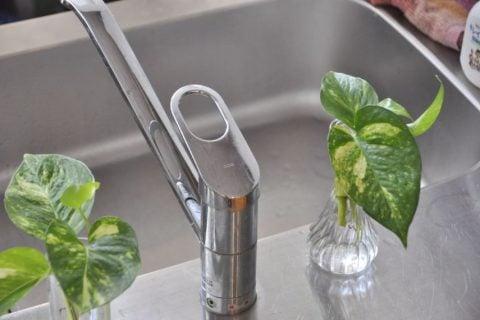 ポトス 水挿し 水栽培