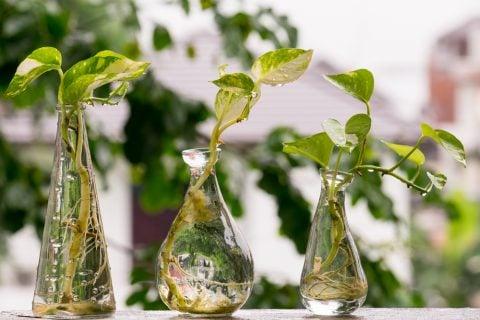 ポトス 水栽培 水挿し