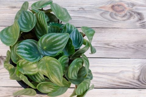 ペペロミア アルギレイヤ 鉢植え