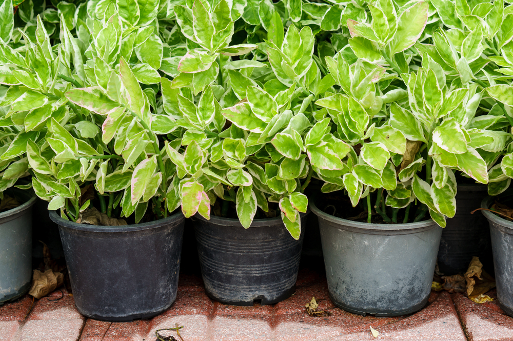 たくさんの観葉植物のポトスの画像