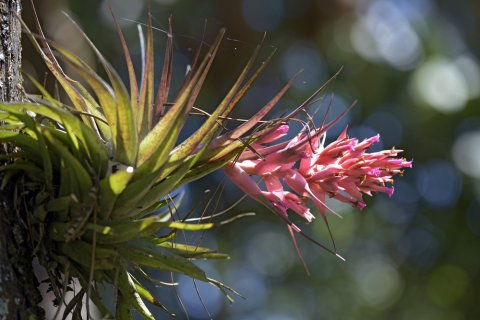 チランジア 花