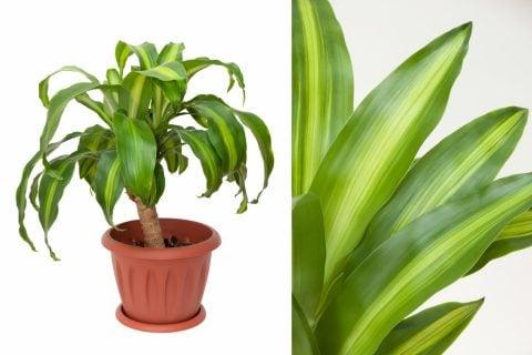 ドラセナ・マッサンゲアナ 観葉植物1