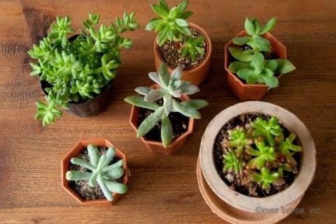 オリジナル グッズ 多肉植物 セダム 挿し木 ハサミ 植木鉢 (11)