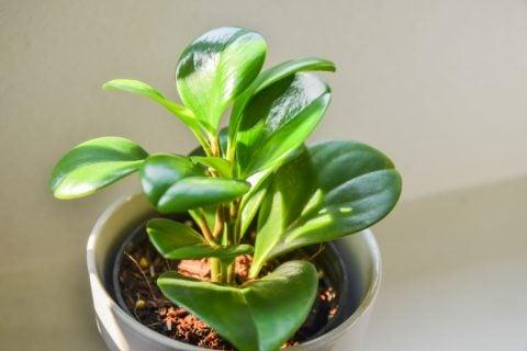 ペペロミア 多肉植物 日光