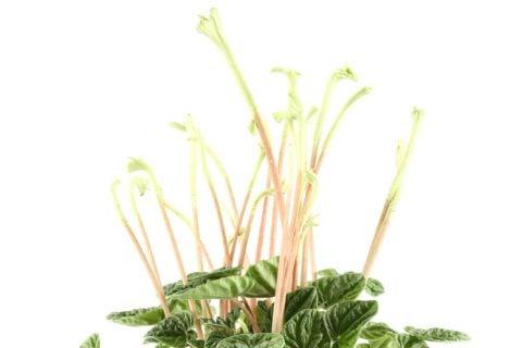 ペペロミア 花