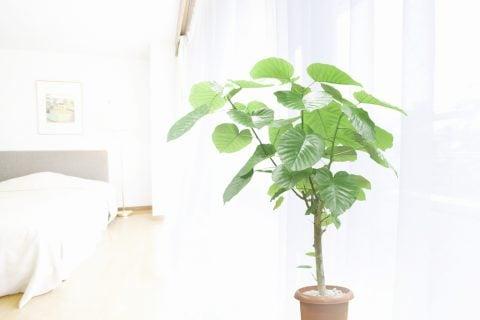フィカス・ウンベラータ 観葉植物5
