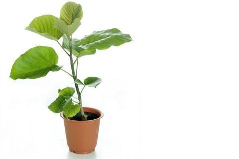 フィカス・ウンベラータ 観葉植物3