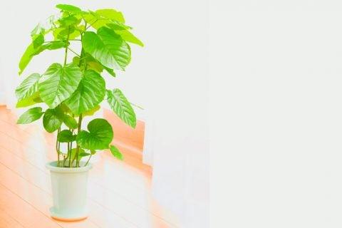フィカス・ウンベラータ 観葉植物2