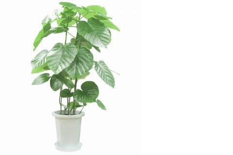 フィカス・ウンベラータ 観葉植物1