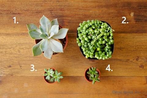 オリジナル 多肉植物 寄せ植え 種類