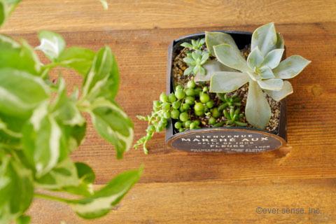 オリジナル グリーンネックレス セダム エケベリア 多肉植物 寄せ植え (14)