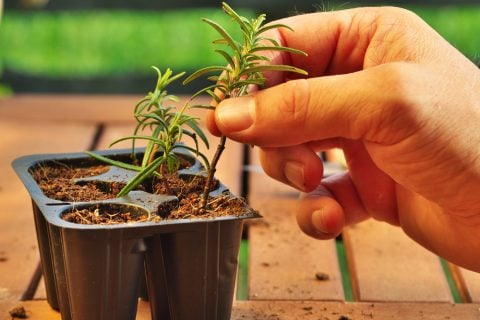 ローズマリー 挿し木 植え替え