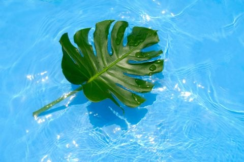 観葉植物 モンステラ2