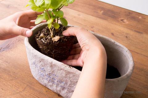 オリジナル アイビー 寄せ植え ジャスミン 植える