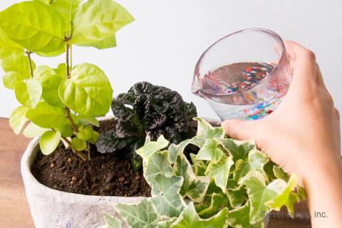 オリジナル アイビー 寄せ植え 水やり