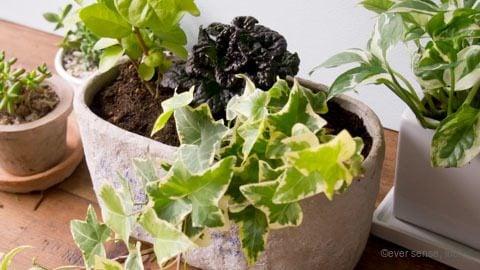 オリジナル 観葉植物 寄せ植え アイビー アジュガ ジャスミン