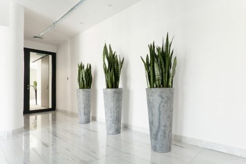 サンスベリア 観葉植物 植木鉢 インテリア