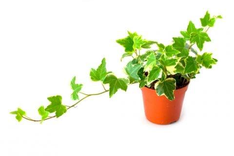 観葉植物 アイビー 鉢植え