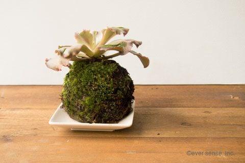 オリジナル 苔玉 多肉植物