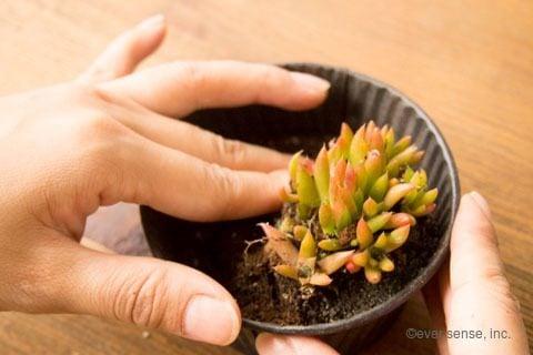 オリジナル 多肉植物 寄せ植え