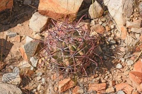 多肉植物 フェロカクタス 神仙玉