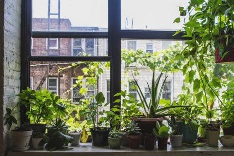 ハーブ 観葉植物 窓辺