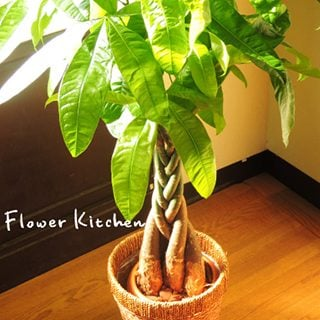 要出典 パキラ の鉢植え7号鉢-選べる観葉植物-