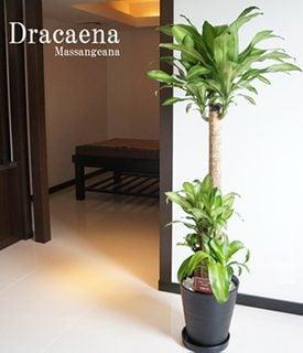 要出典 幸福の木-大型-観葉植物-ドラセナ-フレグランス-マッサンゲアナ-