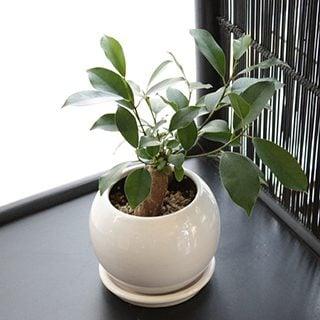 要出典 幸福をもたらす精霊が住む木-ガジュマルの木-観葉植物-ミニ-鉢植え-インテリア-