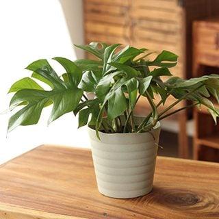 要出典-観葉植物-杉山さんの姫モンステラ-インテリア性も抜群の観葉植物です!-【ヒメモンステラ】-