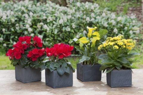 ベゴニア 花 鉢植え 苗