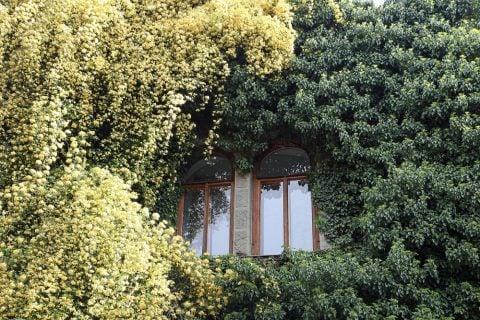 モッコウバラ(木香薔薇) 花 黄色 壁一面
