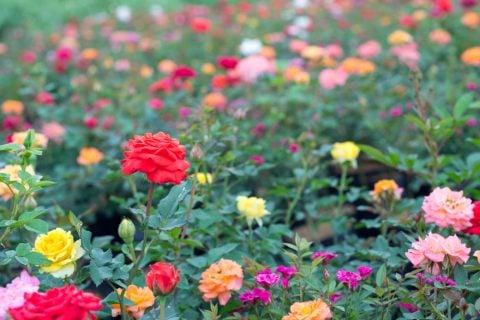ミニバラ 地植え 花