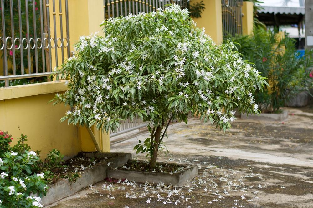クチナシ(ガーデニア) 花 地植え 低木
