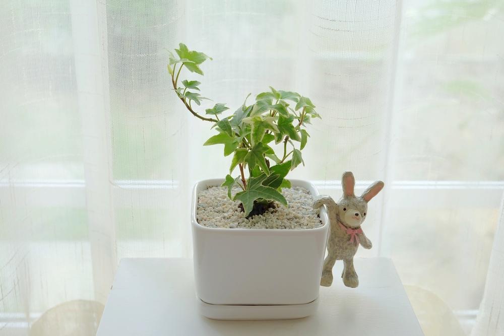 観葉植物 アイビー(ヘデラ)  鉢植え インテリア