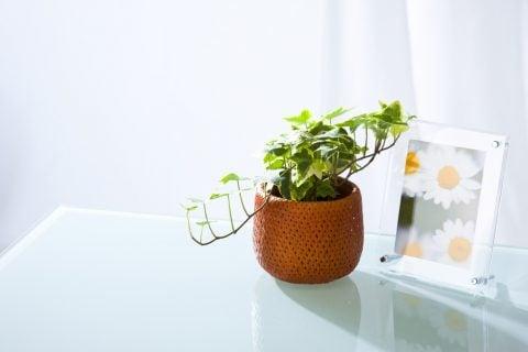 アイビー 観葉植物2