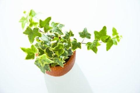 人気観葉植物アイビー