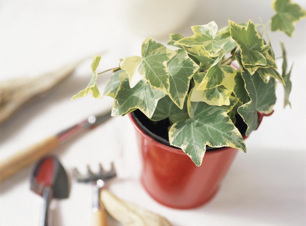 観葉植物 アイビー(ヘデラ)  鉢植え