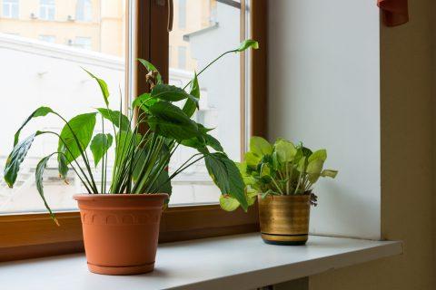 観葉植物 窓辺 窓ぎわ