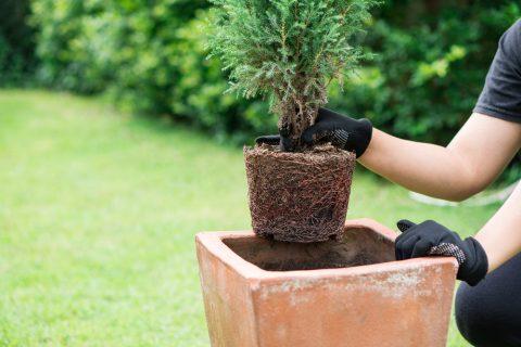 鉢 植え替え