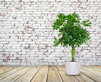 人気観葉植物カポック