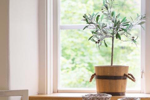 オリーブの木 鉢植え 窓辺 インテリア